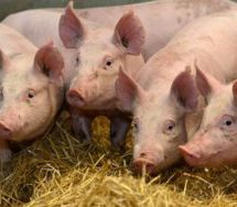 A/R: Swine Fever contained