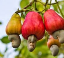 Tain needs cashew factories – MP