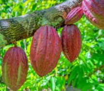 Cocoa: AfDB outlines big plans for Ghana, Ivory Coast
