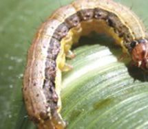 GDP: Armyworm affected agric in second quarter – Economist