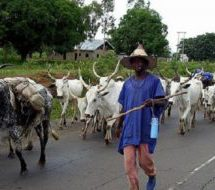 Fulani herding cattle for soldiers, police & ministers – Chief
